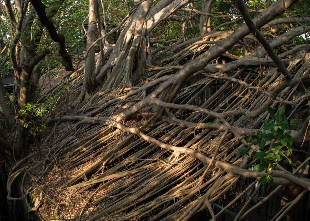 taiwan-tainan-maison-avalee-par-les-banyan-trees