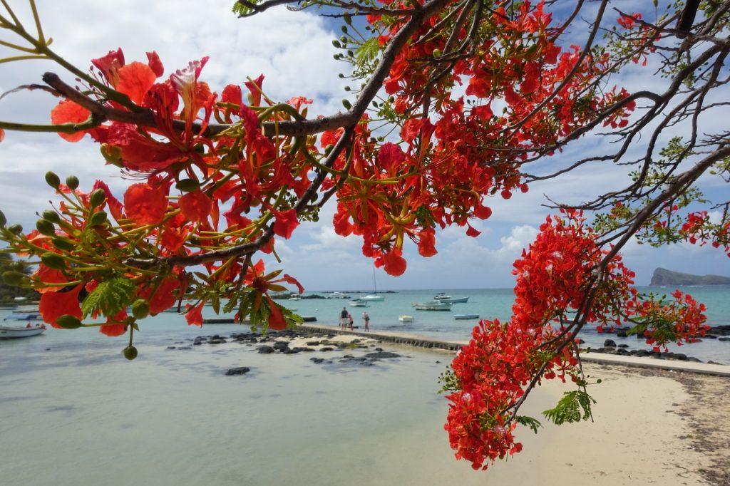 les-exploratrices-maurice-flamboyant-fleurs