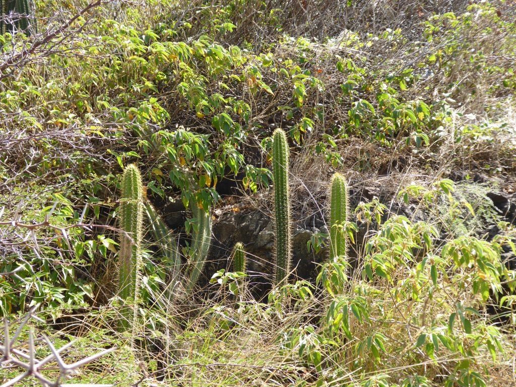 cactus-sud-martinique