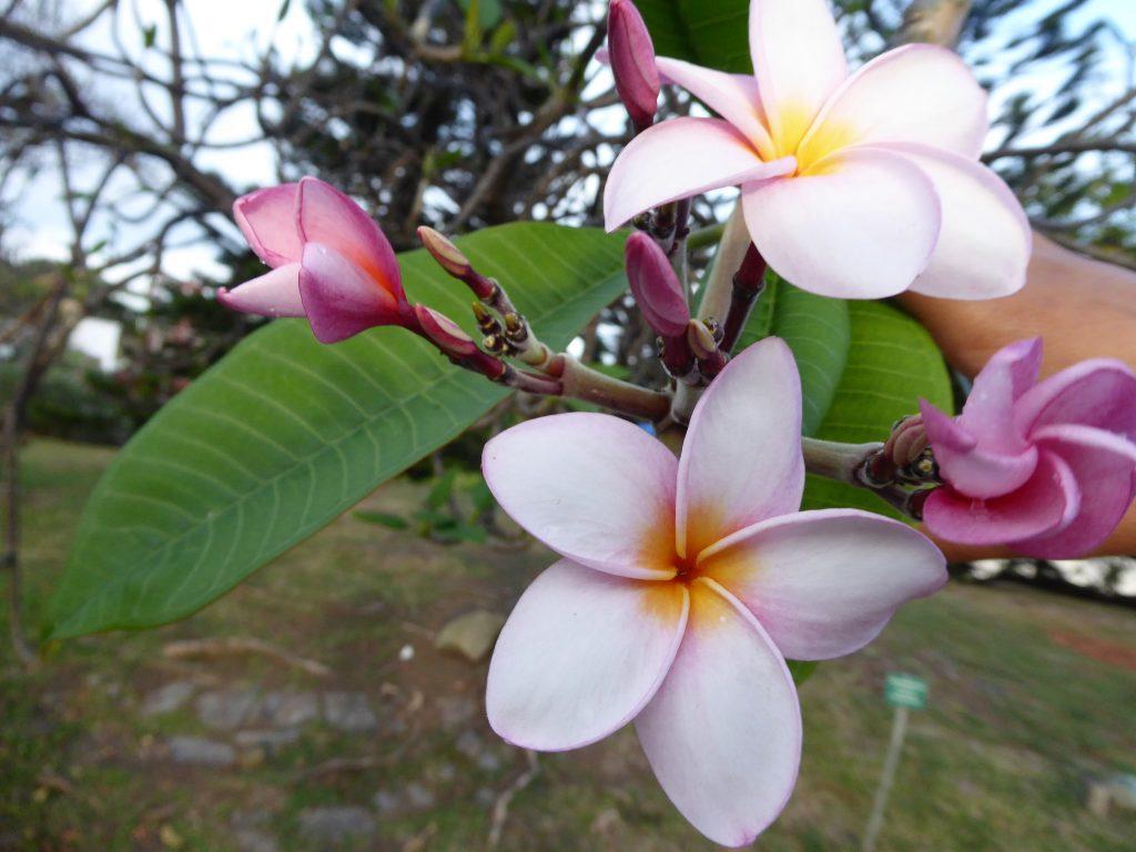 fleur-frangipanier-habitation-clément-sud-martinique