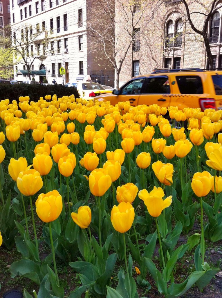 les-exploratrices-nyc-yellow-cab-tulipes