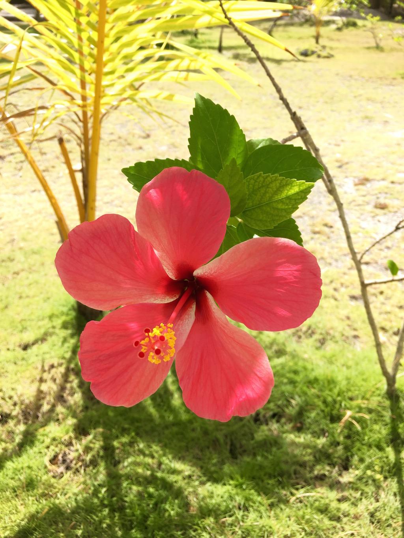 tikehau-fleur-hibiscus