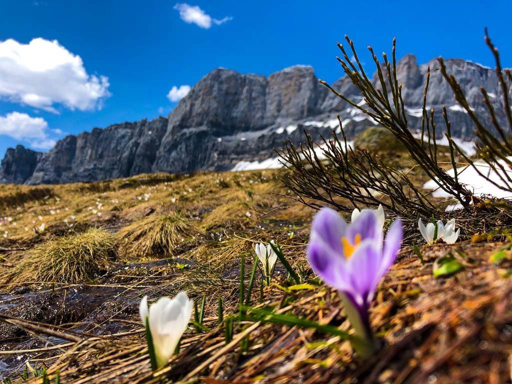 randonnée savoie mont blanc crocus